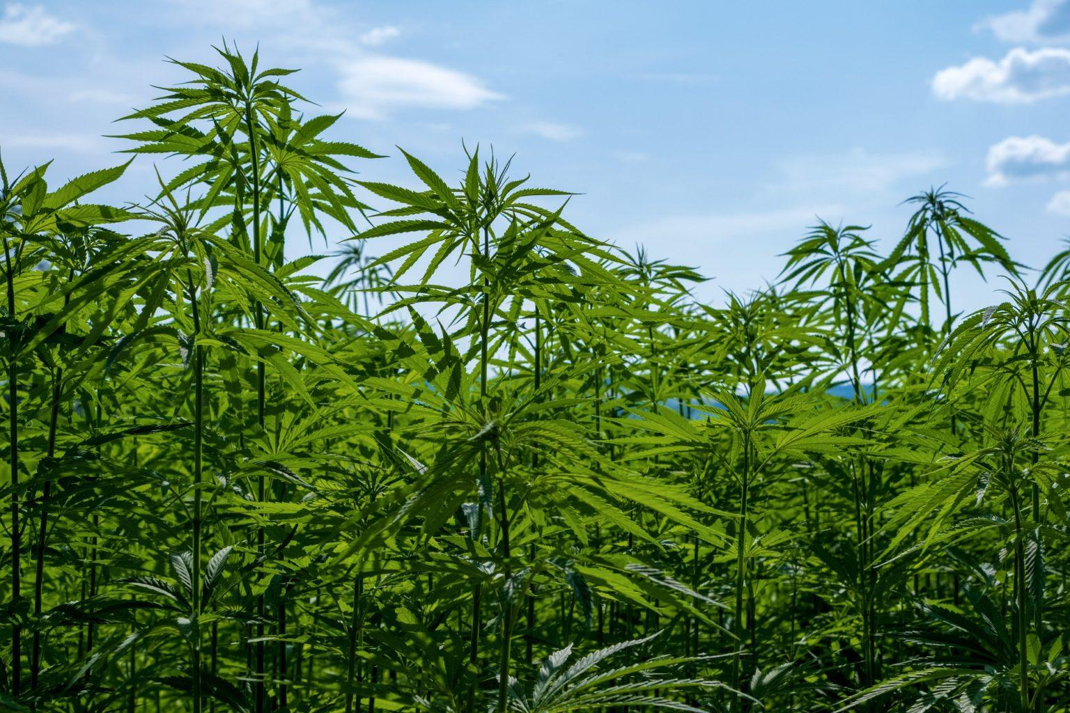 Расцветало поле конопли и мака марихуана дождь песня